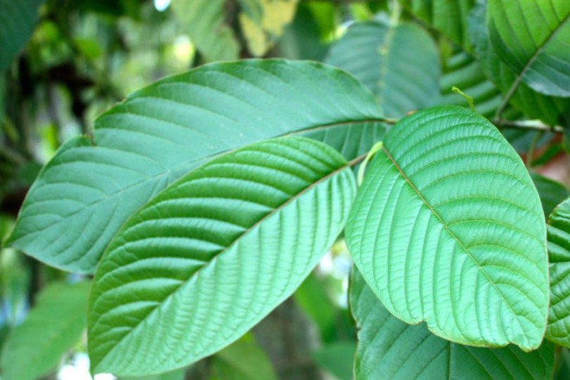 Popular Breeds of white vein Kratom
