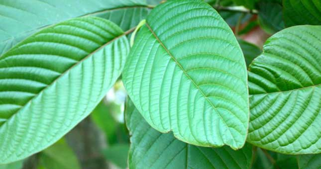 THE LIST OF 4 BEST KRATOM STRAINS