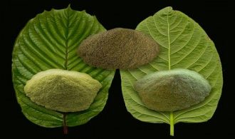 Kratom-The-Top-Notch-Holistic-Substance-Youve-Likely-Never-Heard-Of-330x231