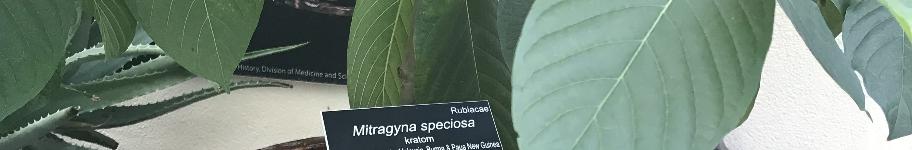Mitragyna speciosa plant