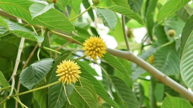 kratom-flowers-hd